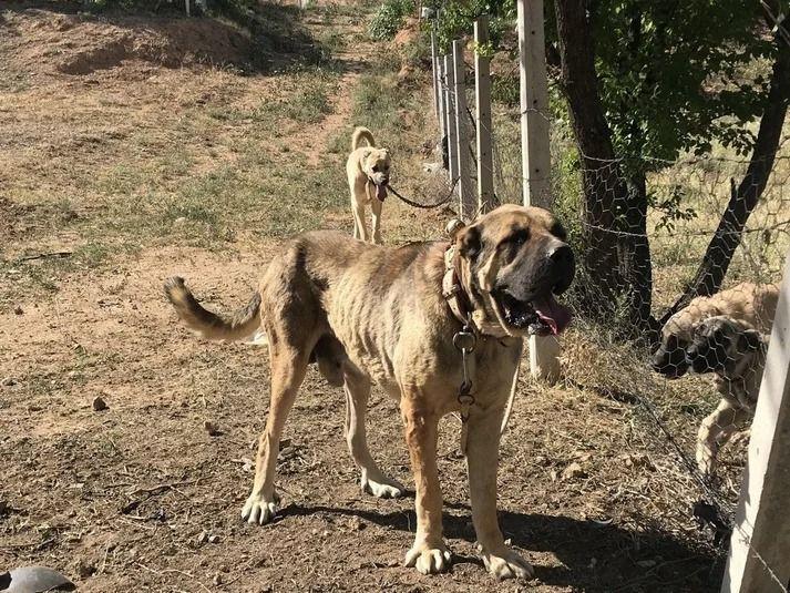 Anadolu ırkı çoban köpekleri fiyatlarıyla dikkat çekiyor - Resim: 3