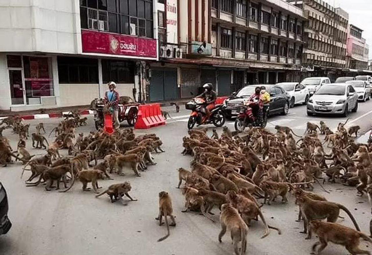 Maymunlar şehrin göbeğinde birbirine girdi - Resim: 4