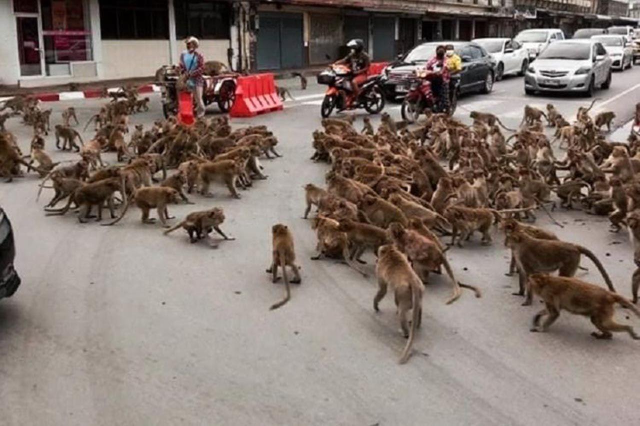 Maymunlar şehrin göbeğinde birbirine girdi - Resim: 2