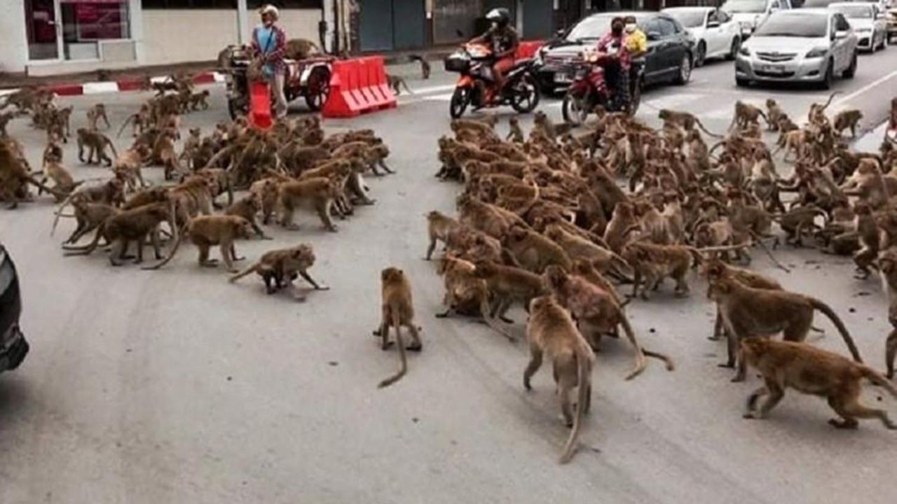 Maymunlar şehrin göbeğinde birbirine girdi