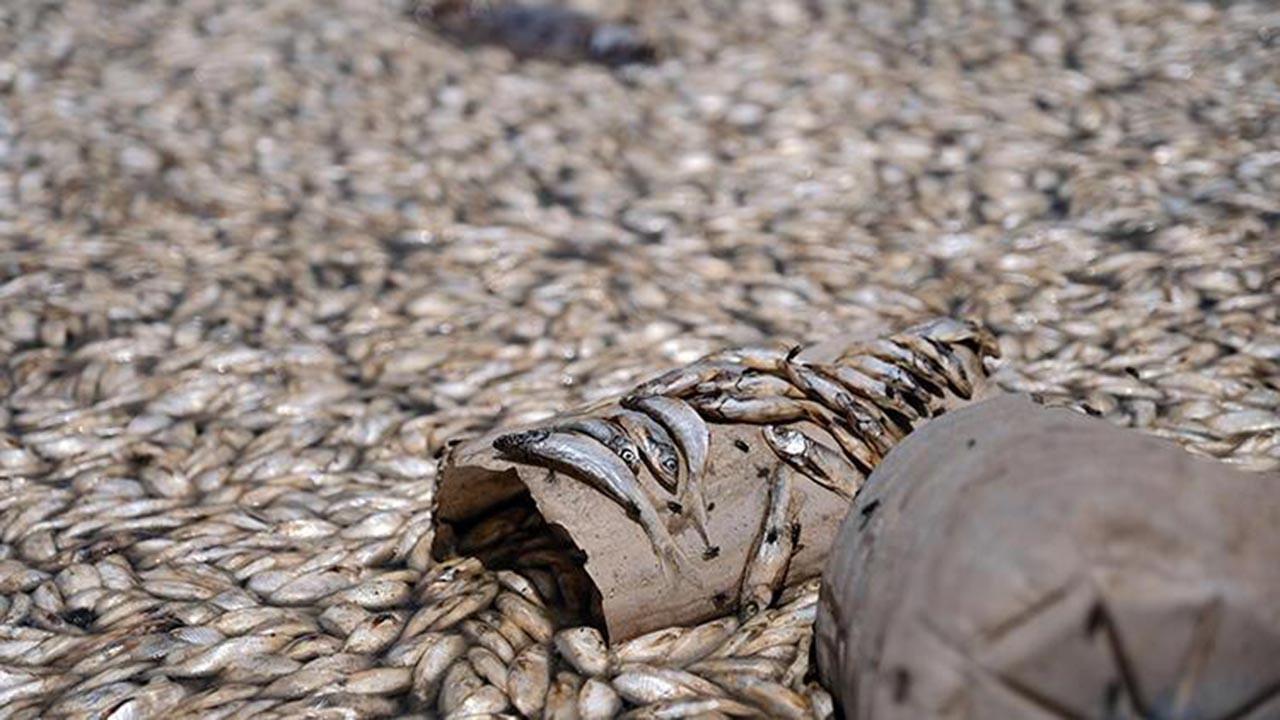 Felaket! Barajdaki binlerce balık telef oldu
