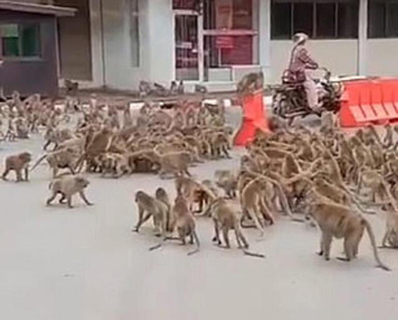 Maymunlar şehrin göbeğinde birbirine girdi - Resim: 3