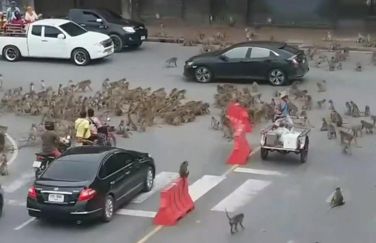 Maymunlar şehrin göbeğinde birbirine girdi - Resim: 1