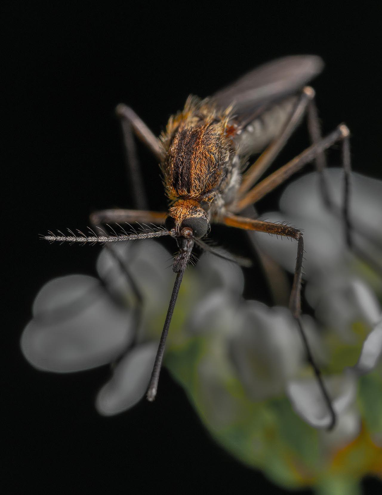 Sivrisinek deyip geçmeyin! Uzman isim uyardı: Ölümcül olabilir! - Resim: 2