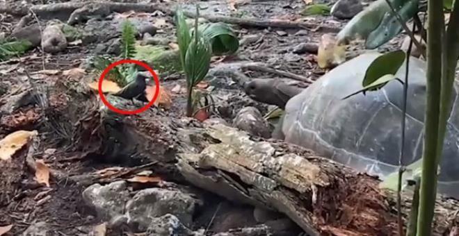 Otçul olarak bilinen dev kaplumbağa yavru kuşu yedi - Resim: 1