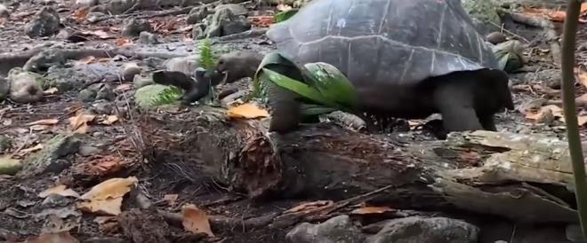 Otçul olarak bilinen dev kaplumbağa yavru kuşu yedi - Resim: 4