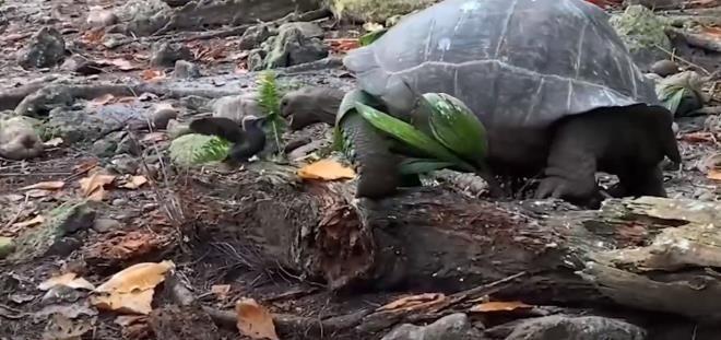 Otçul olarak bilinen dev kaplumbağa yavru kuşu yedi - Resim: 2
