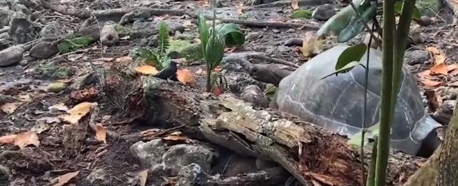 Otçul olarak bilinen dev kaplumbağa yavru kuşu yedi - Resim: 3