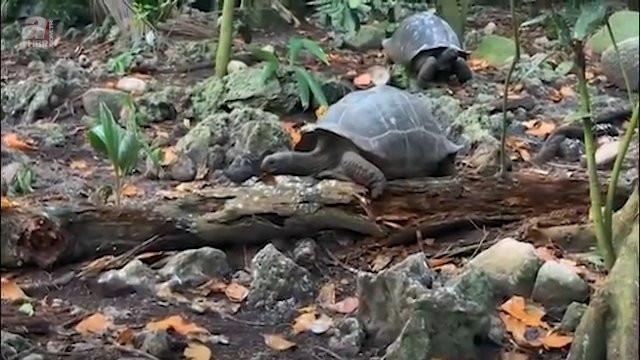 Bir de ''yavaş'' derler... Kaplumbağanın avlandığı anlar kamerada