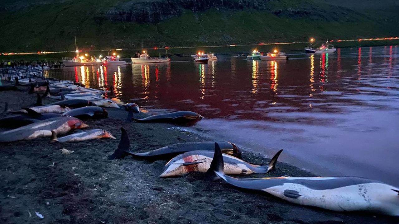 Bunun adı festival değil katliam: Yüzlerce balina ve yunus öldürüldü