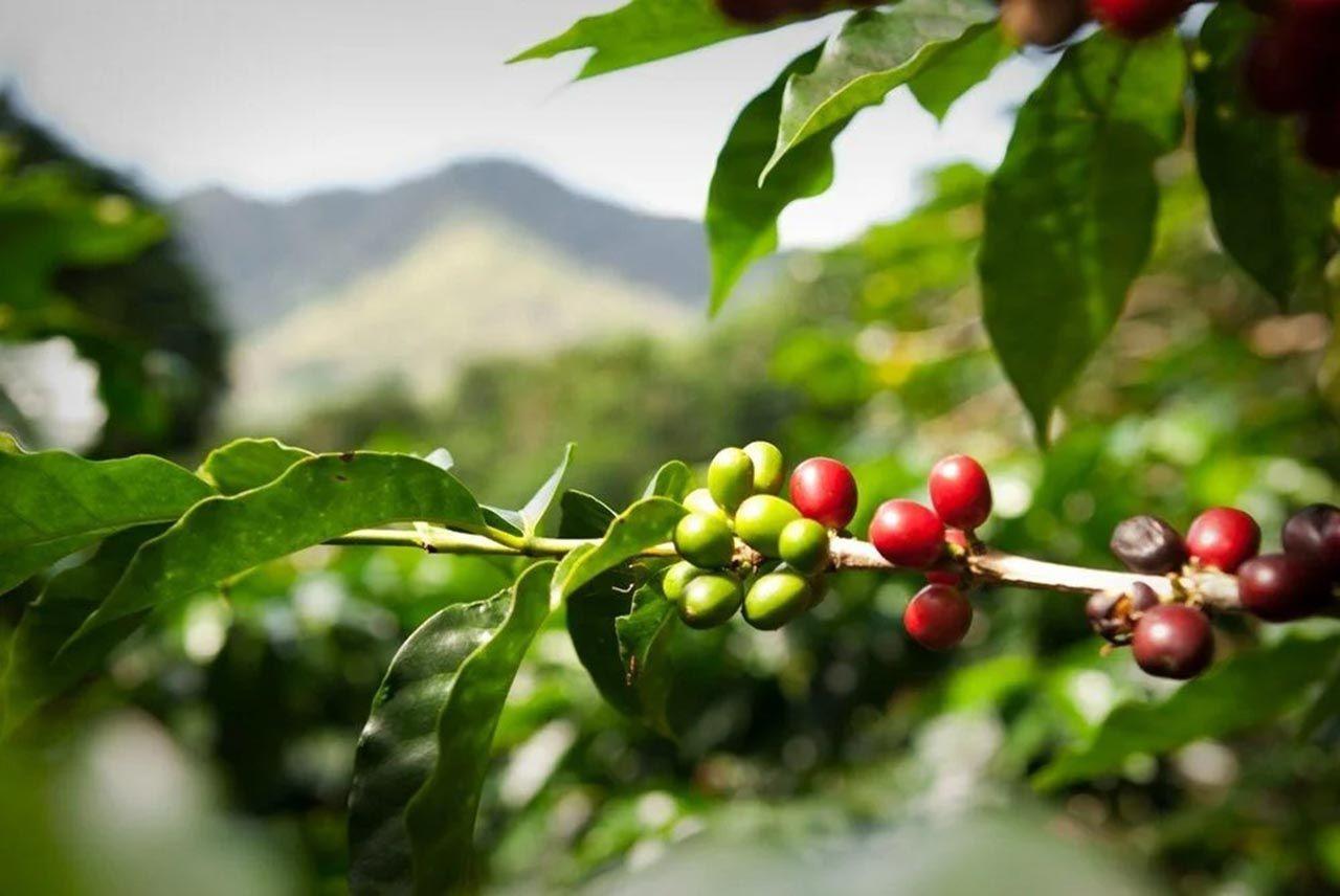 Kahve tiryakilerine kötü haber - Resim: 2