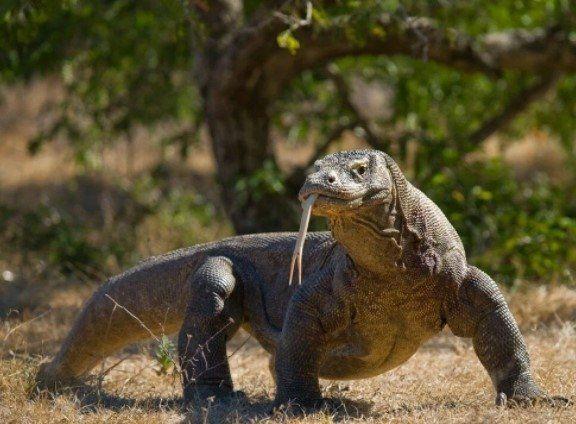 Komodo ejderinin nesli tükeniyor - Resim: 2