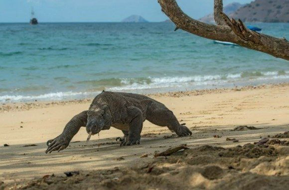Komodo ejderinin nesli tükeniyor - Resim: 3