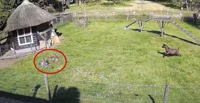 Vahşi kuşun saldırısına uğrayan tavuğu horoz ve keçi kurtardı - Resim: 1