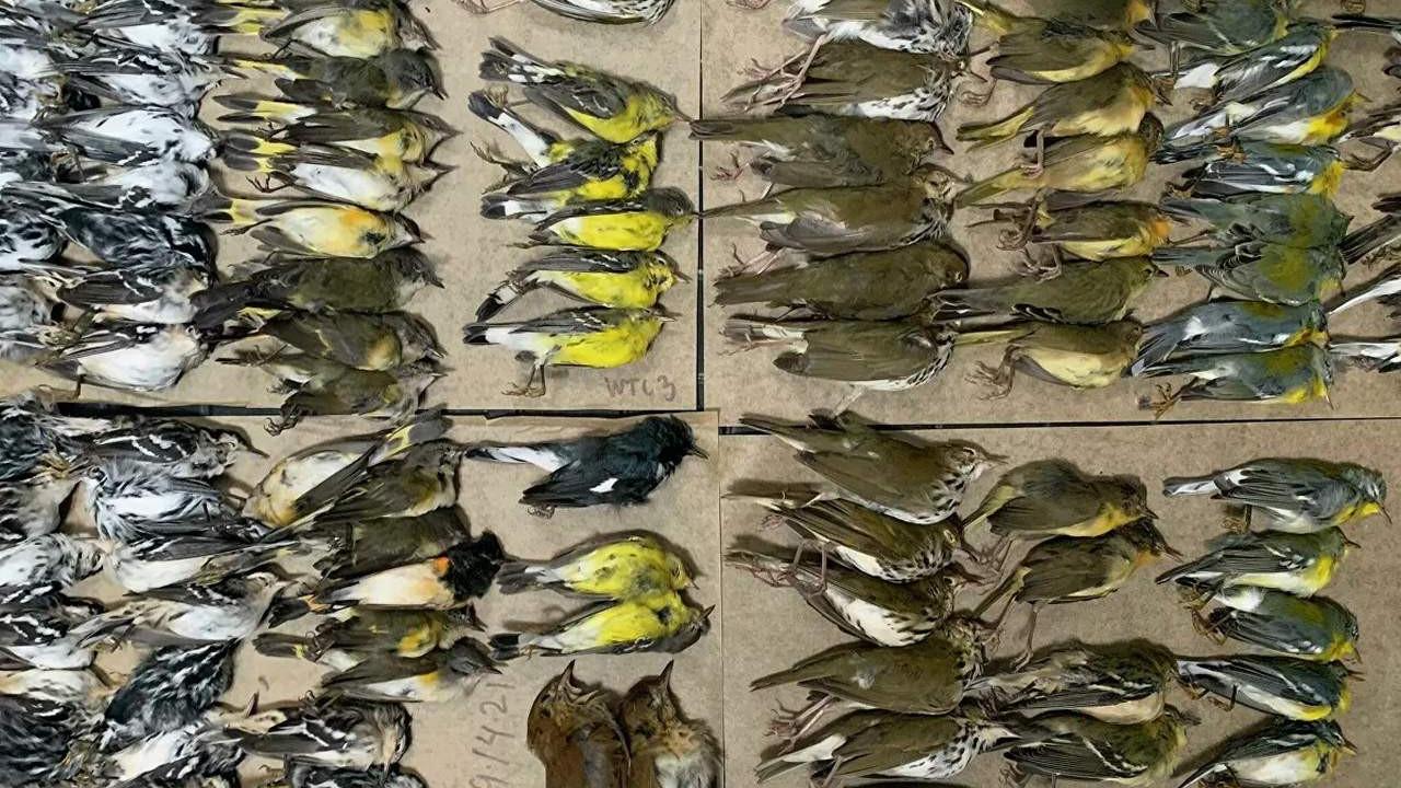 Göç etmek isteyen yüzlerce kuşun toplu ölümü şoke etti