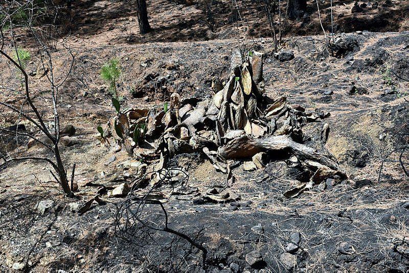 Yangınların kül ettiği Marmaris'te ormanlar yeniden yeşilleniyor - Resim: 4