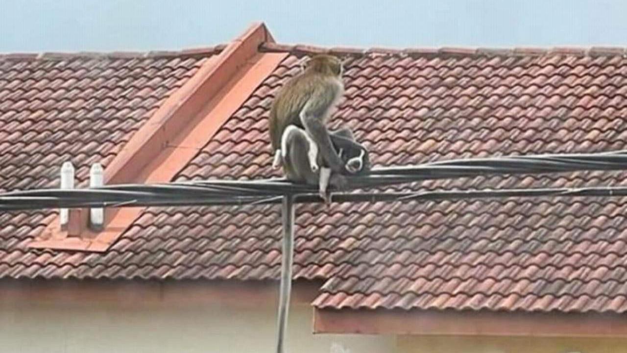 Maymunlar evlere girip, kaçırıp rehin almaya başladı