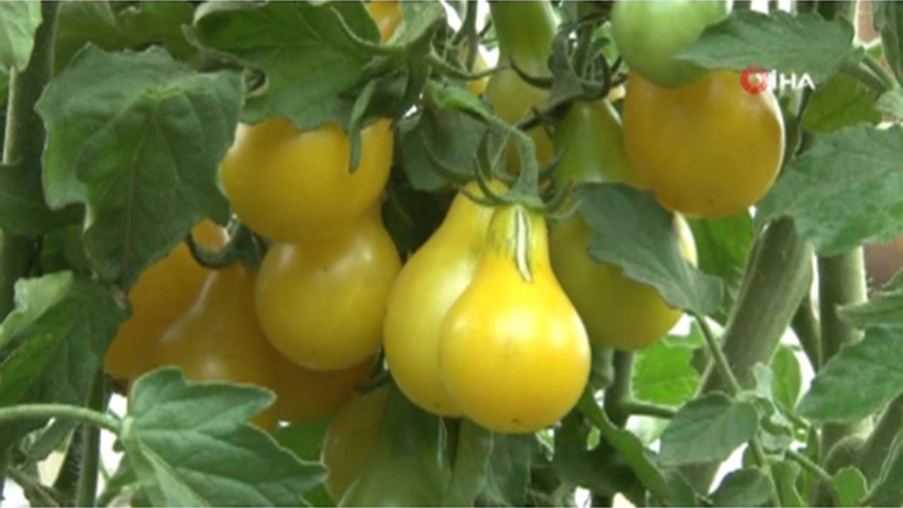 Görenler armut sanıyor ama aslında onlar domates