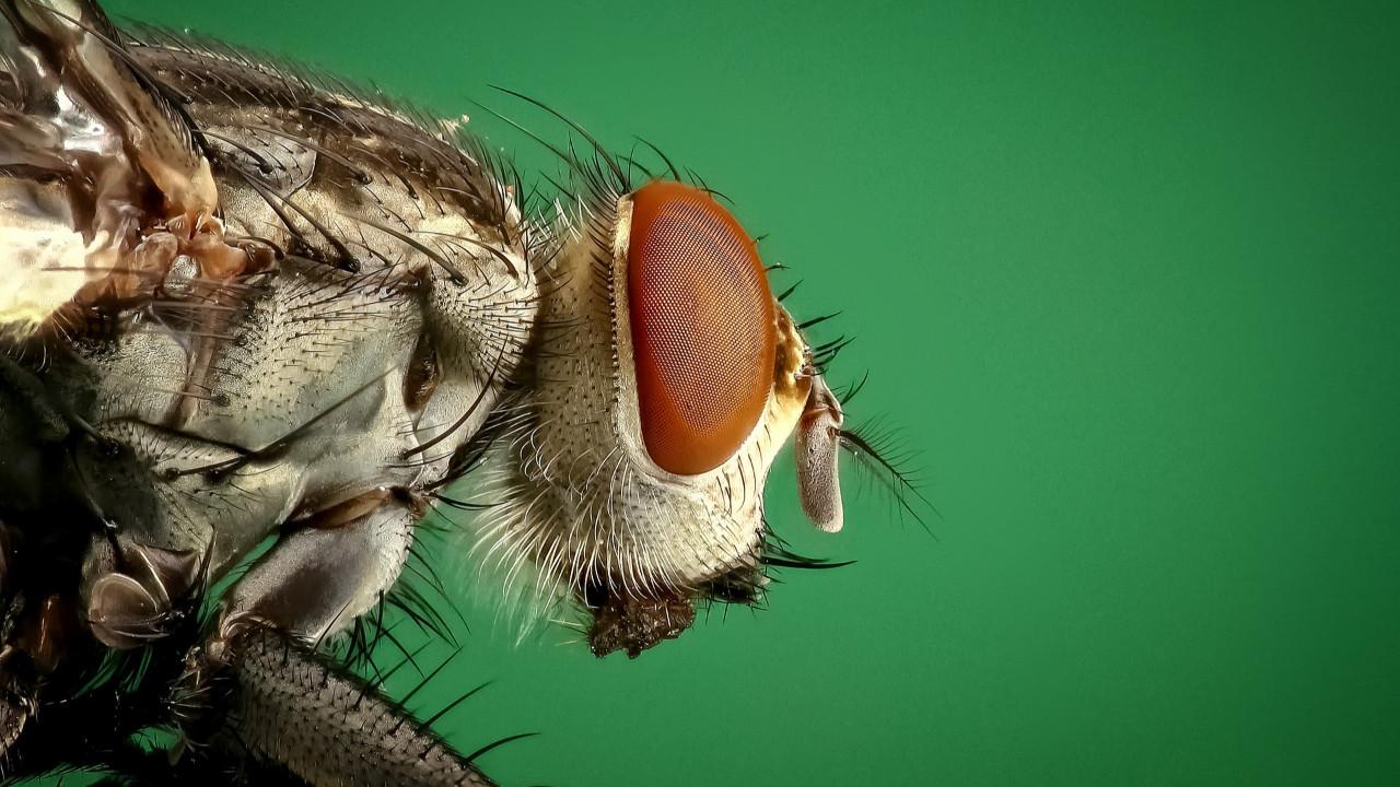 Bir bu eksikti! Tedavisi yok, sinekler bulaştırıyor, 8 köy karantinada!