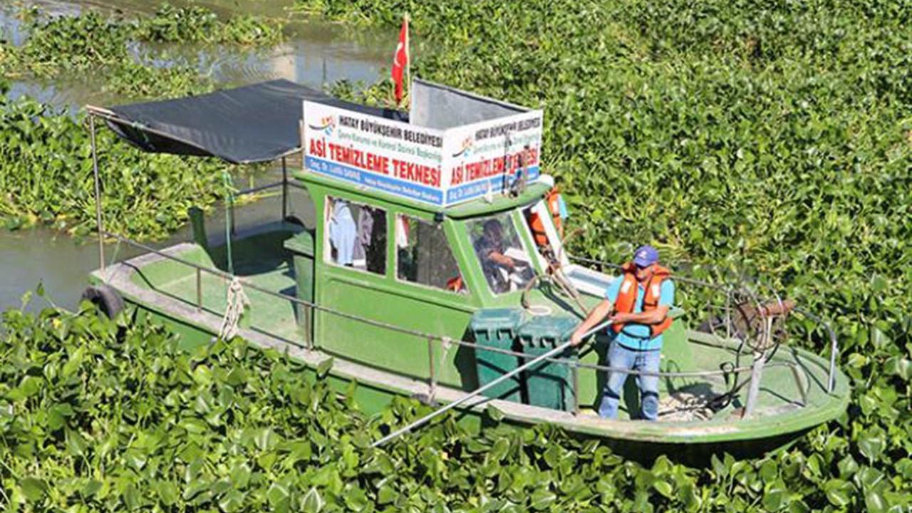 Asi Nehri'nde su sümbülü istilası