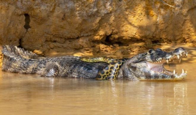 Timsah ve anakondanın 40 dakikalık kapışması nefes kesti - Resim: 1