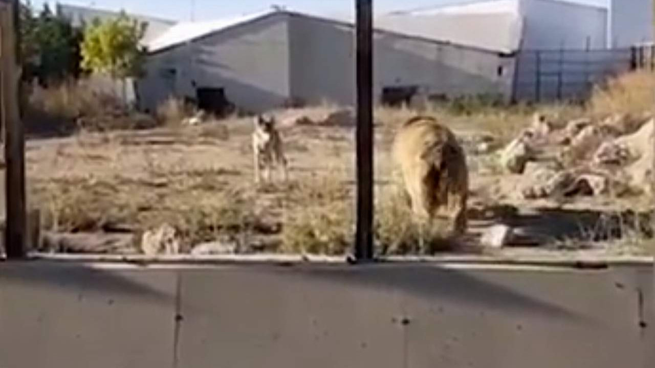 Hayvanat bahçesinde skandal iddia: ''16 kurt bahis için ayının üzerine salındı''