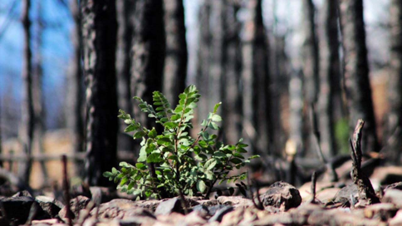 Yangınların küle çevirdiği cennette tabiat ana küllerinden yeşeriyor