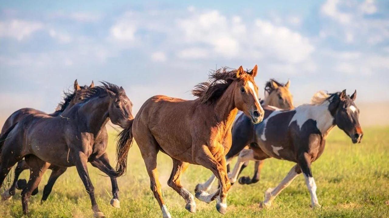 Atların ne zaman ve nerede evcilleştirildiği ortaya çıktı
