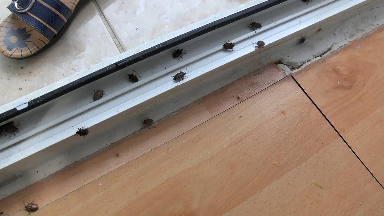 İstanbul'da yeni kabusun adı: Kokarca böceği! İki ilçeyi istila ettiler