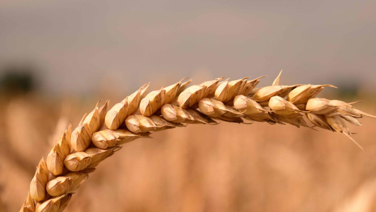 Taliban para yerine ''buğday'' verecek