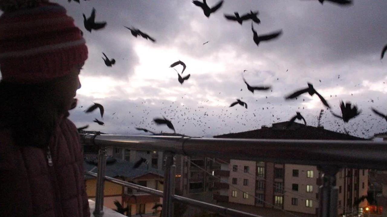 Her yeri sardılar: Bir kenti kargalar istila etti!