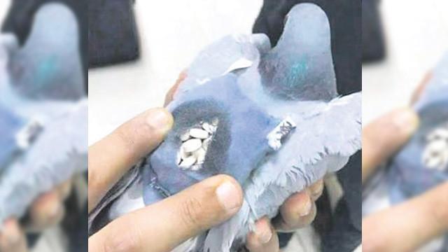 Zehir tacirleri güvercini torbacı yapmış
