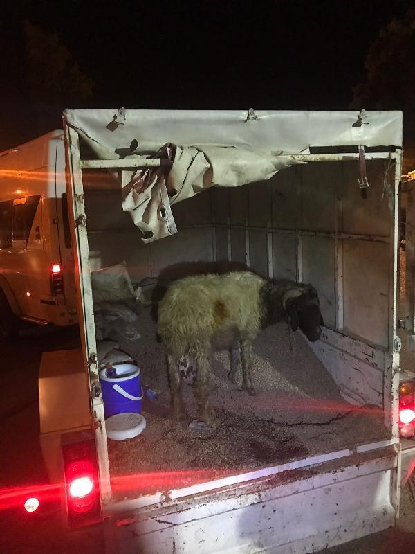 Koyunların arasından bakın ne çıktı !