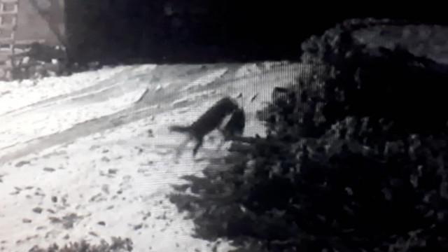 Köye inen aç kurtlar köpeğe saldırdı