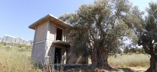 Tarihi zeytin ağacının dibine villa diktiler!