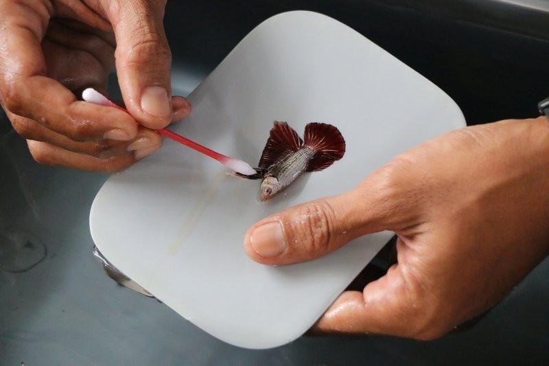 Betta balıkları kuaförde yarışmaya hazırlanıyor