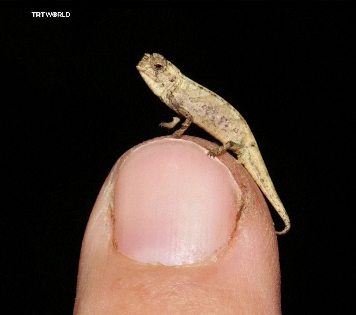 İşte karşınızda dünyanın en küçük sürüngeni